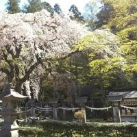 楽翁桜開花状況 4月23日~散り始め~
