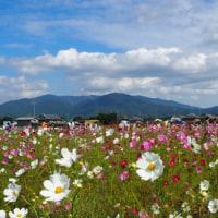 10月16日(日)・亀岡のコスモス