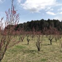 道端の花桃畑風景