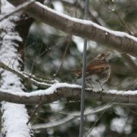 # 雪&地味な色彩の野鳥:ツグミの姿 # G公園(岐阜県岐阜市)