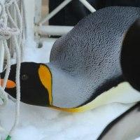 働く?!ペンギン・王様