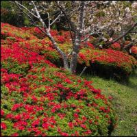 萩の茶屋のつつじと八重桜
