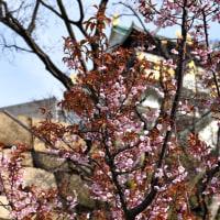 一本の彼岸桜❣️淡い〜淡い〜〜ピンク色