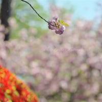 春爛漫:半田山植物園4月23日