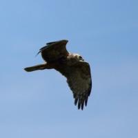 チュウヒの飛翔。