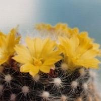 黄色い花のサボテン