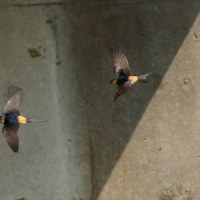 6/23探鳥記録写真(岡垣町:汐入川のコシアカツバメ)