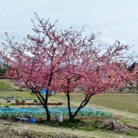 立山の背景も大気も寒いけれど、春の花を探しに走る。(2)