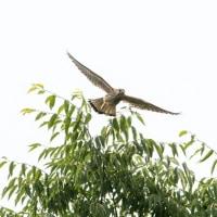 一期一会・・・鳥撮りの記  212 チョウゲンボウ