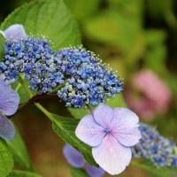 ネムノキの花 紫陽花 ハンカチの花