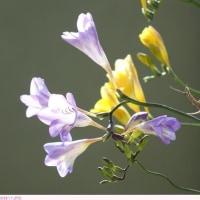 フリージア 〈薄紫色の花〉