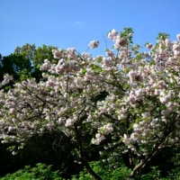 遅咲きの桜、松月 4月28日