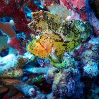 アザハタの根。 沖縄ダイビング 那覇シーマリン