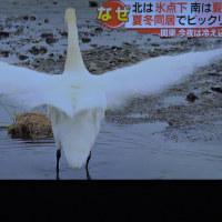 """10/21 白鳥は """"帰ったドー""""っ て万歳か?"""