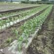荒らされるトウモロコシ畑