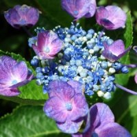 紫陽花が咲いた
