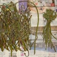 恒例の山菜採りは大変だった。