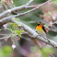 名残の桜と鳥たち