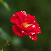 赤いバラ、それぞれに異なった趣がありました