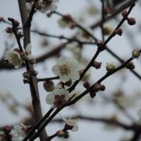 セロジネの花