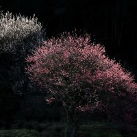 阿玉台の紅白梅