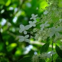 ネムの花、オカトラノオ、ウツボグサ、ナツツバキ、イセハナビ