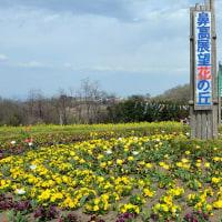 菜の花撮影   ~高崎鼻高 花の丘~
