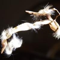170220 神秘の種、テイカカズラ(有毒植物)の綿毛の撮影に没頭!