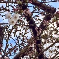 春が来た〜♪