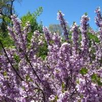 <フジモドキ(藤擬き)> ジンチョウゲの仲間、名前は花の藤色から