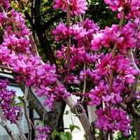 花蘇芳(はなすおう)という花
