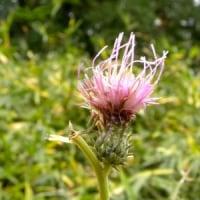 斜面にトネアザミの花