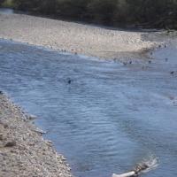 川の中にカラスの群れ・・・そこには?