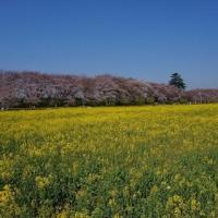 権現堂の桜2017