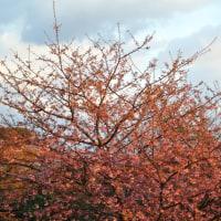 メロディーラインの河津桜