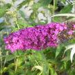 赤紫のブッドレアとヒオウギの花