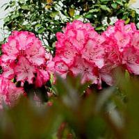 西洋石楠花(せいようしゃくなげ)という花