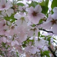 花見と道案内 平成29年4月