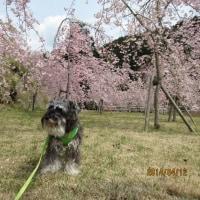 春爛漫 駿河療養所の桜