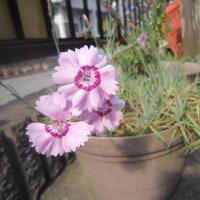 今年も咲いた結衣の花