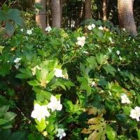 Rubus trifidus (Kajiichigo in Japanese)