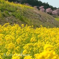 菜の花と春めきと・・・。