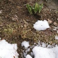 雪の下でもつぼみが