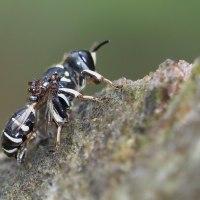 アリに襲われるクロスズメバチ