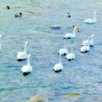 早春の信州・・・千曲川の清流・・・白鳥の群れが泳ぐ風景