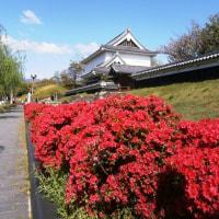 勝竜寺城公園のキリシマツツジは見ごろかも