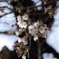 雨のち晴れ 桜は待機中