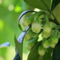 柑橘の花ー3