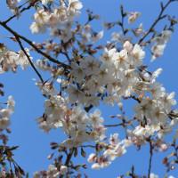 桜 色々 3