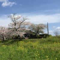 小湊鉄道の桜と菜の花